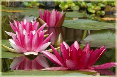 lotus_small